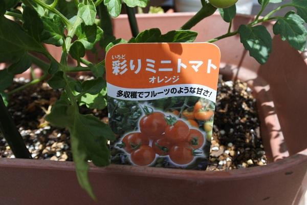彩りミニトマト1.JPG