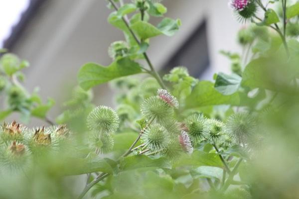 ゴボウの花2.jpg