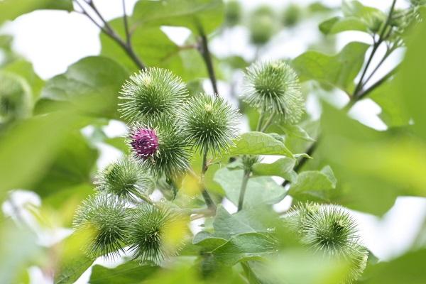 ゴボウの花1.JPG