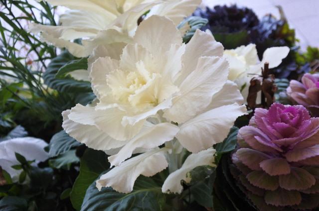 葉牡丹7.jpg