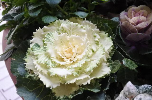 葉牡丹5.JPG