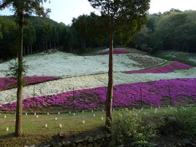 裏山の芝桜