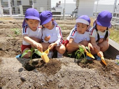 1. 夏野菜を育てようということで!!屋上の畑に野菜を植えました!スコップで掘って苗や種を入れて…土を優しくかぶせています♪.JPG