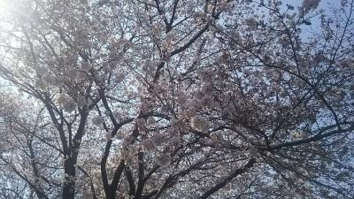ねこじゃらし桜.jpg