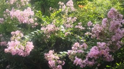 近所のピンクの花.JPG