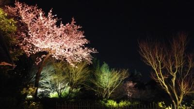 京都桜6.jpg