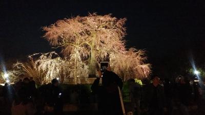 京都桜9.jpg