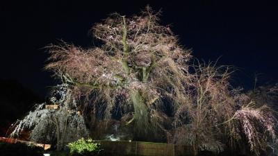 京都桜11.jpg