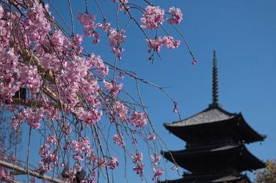 東寺桜.jpg