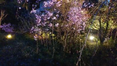 椿山荘の桜.jpg