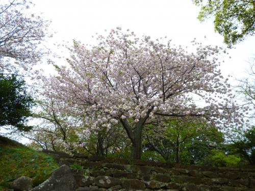 ぼたん桜かも?