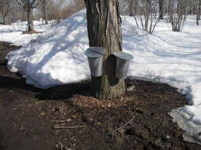 楓の木に吊るされたバケツ、2時間で樹液がたまることもあるという