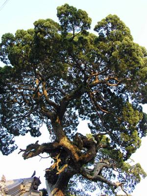 魂を持つ老木