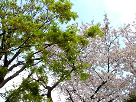 桜ともみじさん?