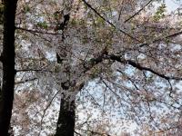 15日の桜