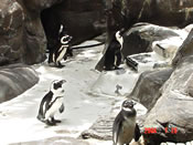 ハワイでペンギン