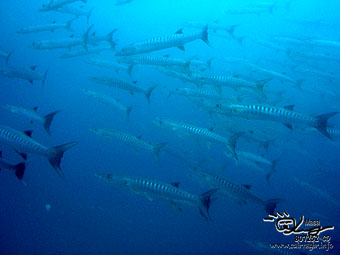 Black fin barracuda 3 Graet Barrier Reef
