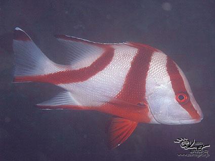 Emperor red snapper/Lutjanus seb/センネンダイ