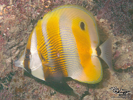Orange-banded coralfish/Coradion chrysozonus/キスジゲンロクダイ
