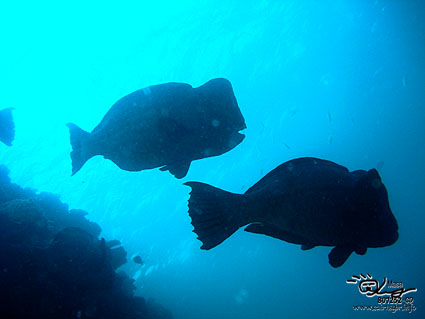 カンムリブダイ/Humphead Parrotfish/Bolbometopon muricatum