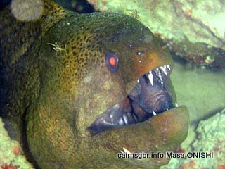ドクウツボ. 学名, Gymnothorax melanospilus. 英名, Giant Moray