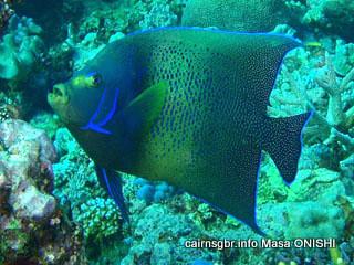 和名:サザナミヤッコ英名:Semicricle angelfish 学名:Pomacanthus semicirculatus
