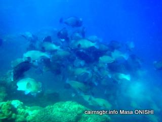 GBR bumphead parrotfish