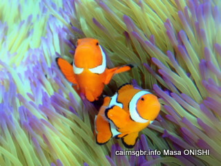 GBR crown anemonefish