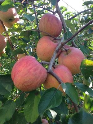 りんご3.JPG