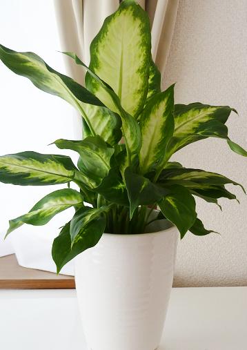 観葉植物ディフェンバキアの毒