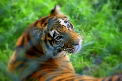 那須サファリパーク トラ