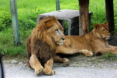那須サファリパーク ライオン