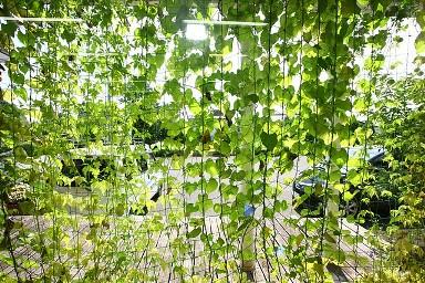 緑のカーテン内側2