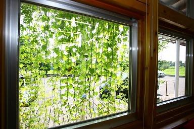 緑のカーテン内側3
