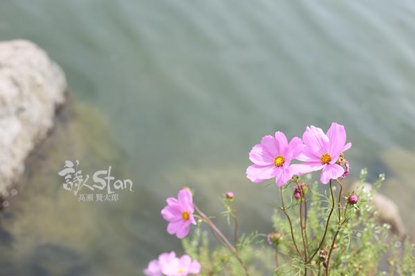 浮島コスモス600.jpg