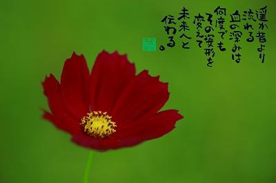 コスモス赤400.jpg