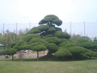 樹齢500年だそうです。