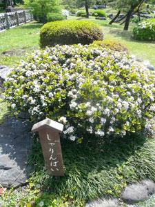 このお庭で「しゃりんばい」を気に入りました
