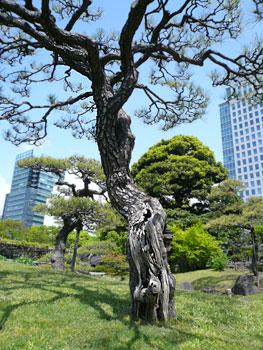 恩賜庭園の松