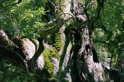大山祇神社のオチノミコト御手植の楠