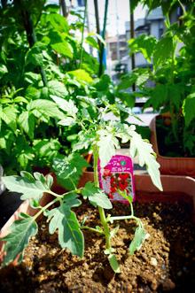 マウロさんの地中海トマト