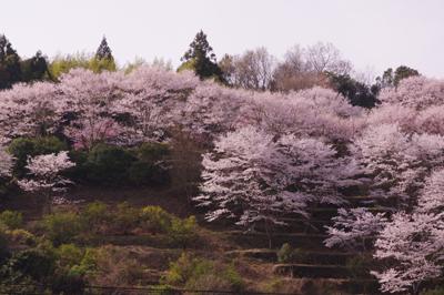 佐那河内桜3.jpg