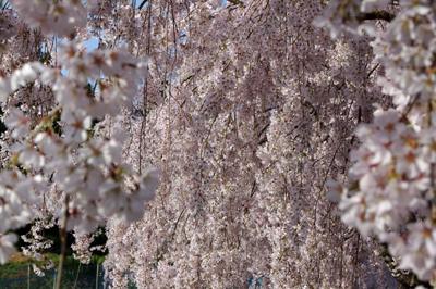 神山桜1.jpg