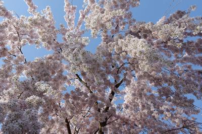 神山桜2.jpg