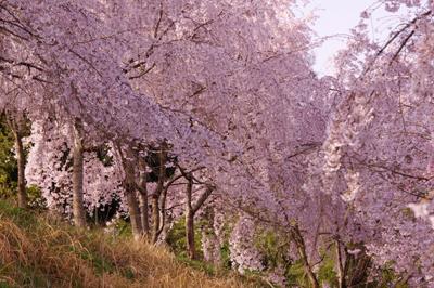 神山桜3.jpg