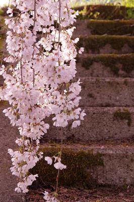 神山桜4.jpg