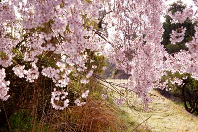 神山桜6.jpg