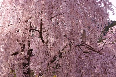 神山桜7.jpg