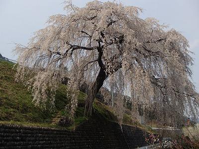 s-岩太郎桜.jpg
