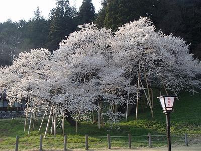 s-臥竜桜.jpg